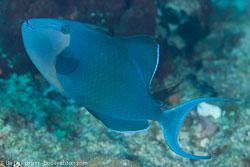 BD-111123-Raja-Ampat-5080-Odonus-niger-(Rüppell.-1836)-[Red-toothed-triggerfish.-Blå-tryckare].jpg